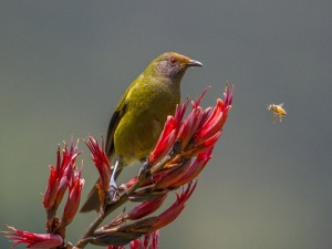 Ross McIvor - Bellbird and Bee (Champion Natural History, 2014 Winter Projected Image Exhibition)