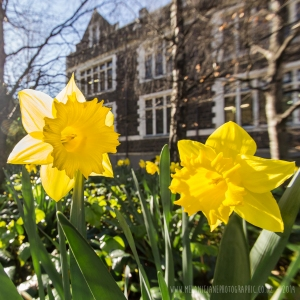 Melanie Middlemiss - Spring flowers on campus