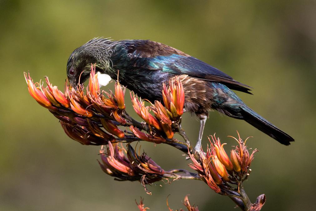 536_Tui,_Botanic_Garden5_Paul_Sorrell