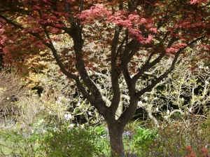 1.maple tree
