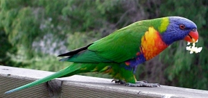 3.rainbow lorikeet