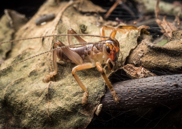 1st Place Leaf-Rolling Cricket (Aus) by David Steer