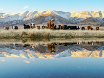 2nd Place Devine Bovines by Kathy Richards